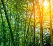 Bamboo forest in morning sunrays royalty free stock image