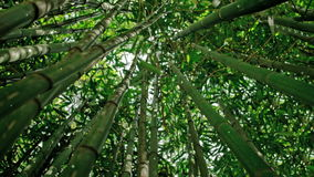 Bamboo forest stock video