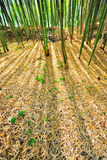 Bamboo Forest Mulch Humus Royalty Free Stock Photo
