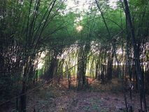 Bamboo forest natural green background image. Bamboo forest natural green background Royalty Free Stock Photography