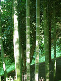 Bamboo forest natural green background Royalty Free Stock Images