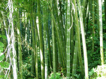 Bamboo forest natural green background Royalty Free Stock Photos