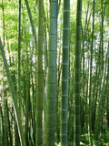 Bamboo forest natural green background Royalty Free Stock Image