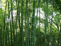 Bamboo forest natural green background Stock Photo