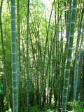Bamboo forest natural green background Stock Image