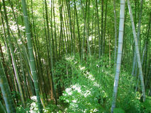 Bamboo forest natural green background Royalty Free Stock Photography