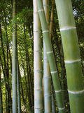 Bamboo forest natural green background Stock Photos