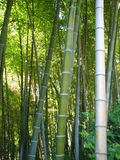Bamboo forest natural green background Stock Images