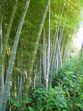 Bamboo forest natural green background Royalty Free Stock Photo