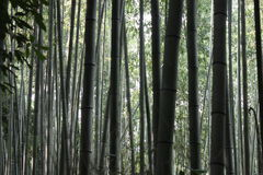 Bamboo forest. Nature trees, bamboo forest in Japan Stock Image