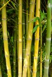 Bamboo forest nature Stock Photography