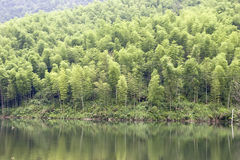Bamboo forest near lake. Large aera of bamboo forest near lake Royalty Free Stock Image