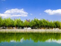A bamboo forest. Near a lake inside Dali University in dali city yunnan province China Royalty Free Stock Images