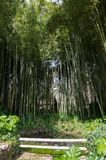 Bamboo Forest at Ninfa Italy Royalty Free Stock Images