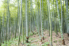 The bamboo of a forest outdoor Stock Photography