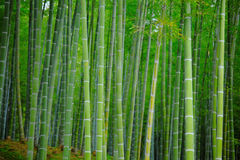 Bamboo forest at outdoor Royalty Free Stock Photos