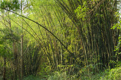 Bamboo forest Royalty Free Stock Photography