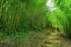 Bamboo forest with path Royalty Free Stock Photo