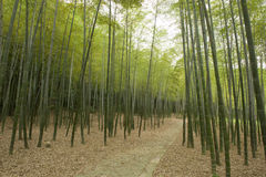 Bamboo forest. A path in Bamboo forest Stock Photo
