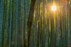 Bamboo forest path in japan. Green Bamboo forest path in japan Royalty Free Stock Photo