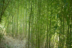 Bamboo Forest. Pathway through a Bamboo Forest Stock Photos