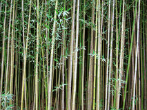 Bamboo forest. Peaceful forest of Phyllostachys aurea commonly known by golden bamboo or fishpole bamboo Royalty Free Stock Photo