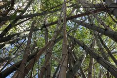 Bamboo forest. Photo image with  bamboo forest in Australia Stock Image