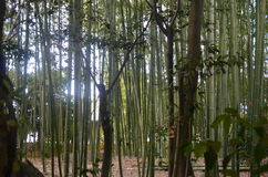 Bamboo Forest. Picture of a little bamboo forest taken in kyoto Royalty Free Stock Images