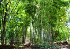 Bamboo forest. Picture taken during rainy season in Inle Lake, Myanmar Stock Photo