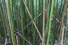 Bamboo forest. Picture was taken in mountain hike, Hawaii Stock Photography