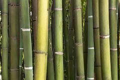 Bamboo Forest. A rich 150 years history... from 1856 to present day, this extraordinary garden or bamboo forest, with  bamboos up to 25 Metres tall and growing Royalty Free Stock Photo
