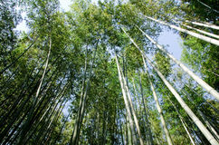 Bamboo forest seen from below Royalty Free Stock Images