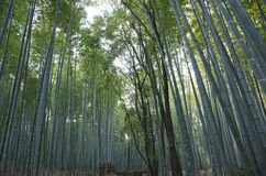 Bamboo forest seen from the side Stock Photography