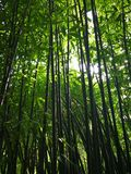 Bamboo forest. Shoot of the bamboo forest Royalty Free Stock Photography