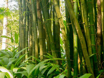 Bamboo Forest. Shot of a Bamboo Forest in summer Royalty Free Stock Photos