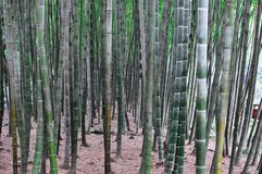 Bamboo forest in Sichuan, China royalty free stock photography