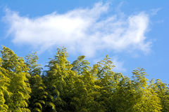 Bamboo forest and sky Stock Image