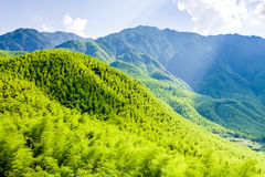 Bamboo forest in south china.  Royalty Free Stock Photo