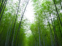 A bamboo forest Stock Photography
