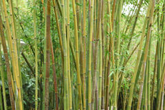 The bamboo. Forest in spring Stock Photography