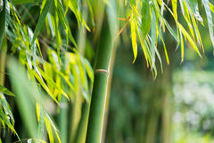 The bamboo forest Stock Image
