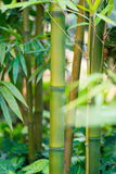 The bamboo forest Royalty Free Stock Images