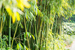 The bamboo forest Stock Photo