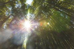 Bamboo forest with strong morning sunlight Royalty Free Stock Images