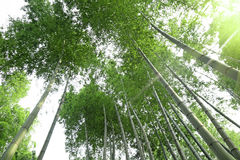Bamboo forest with sunlight Royalty Free Stock Photography