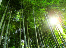 Bamboo forest with sunlight Stock Image