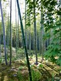 Bamboo Forest sunlight royalty free stock image