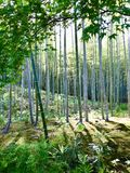 Bamboo Forest sunlight royalty free stock photography