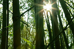 Bamboo forest. Sunlight through the bamboo forest in the morning. The quiet place in the mountains Stock Image