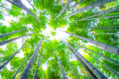 Bamboo forest with sunny Royalty Free Stock Images
